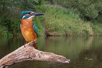 Common Kingfisher von bia-birdimagency