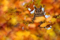 Long-eared Owl von bia-birdimagency