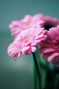 Pink Gerbera Dream °2 by syoung-photography