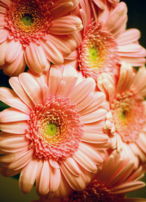 Golden Gerbera by syoung-photography