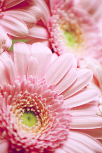 Pink Gerbera Dream by syoung-photography