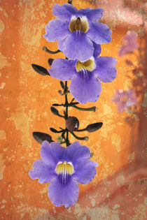 Purple Flowering Vine in old Courtyard by Charles Harker