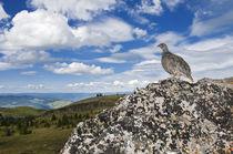 White-tailed Ptarmigan by bia-birdimagency