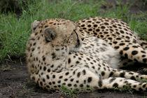 Cheetah von Peter Tomsu
