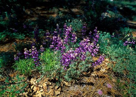 Lilac-spot