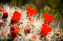 Red Cactus by Peter Tomsu