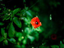 Red Poppy by Peter Tomsu