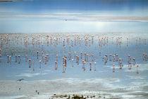 Flamingos light by Guido Montañes