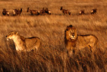 Lions during the mating season in the sunrise by Maggy Meyer