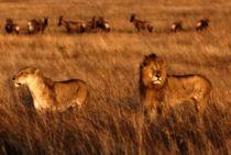 Mara-lions-sonnenaufgang-2012