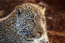 Leopard male, son of Olive, Masai Mara, Kenya by Maggy Meyer