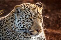 Mara-leopard-nkyoni-2011