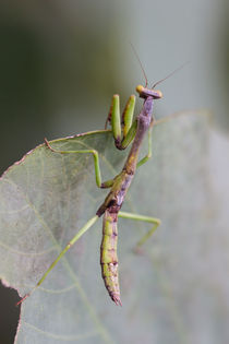 preying mantis hunting by Craig Lapsley