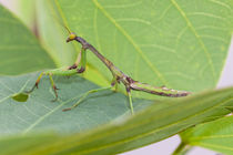 praying mantis stalking prey by Craig Lapsley