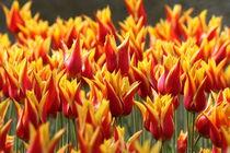 Rot-gelbe Tulpen von alsterimages