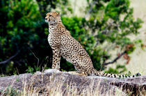 Cheeta on the lookout by Pravine Chester