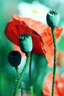 Poppy by Falko Follert