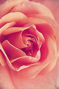 Roses By Macro. by rosanna zavanaiu