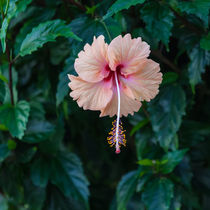 a pale pink hibiscus flower by Craig Lapsley