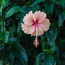 Pale-pink-hibiscus-5424-c