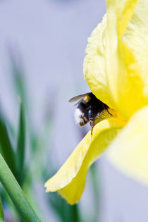 Bumblebee and a Yellow Iris I von olgasart