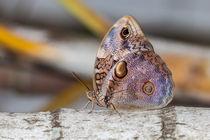Owk-butterfly-5013-c