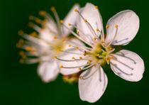 Cherry Blossoms by Keld Bach