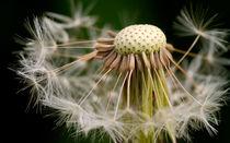 Dandelion Seeds by Keld Bach