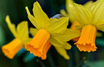 Orange Daffodils by Keld Bach