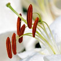 White Lily, Macro von Keld Bach