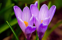 Violet Crocuses by Keld Bach