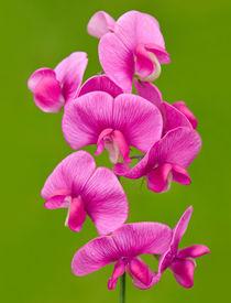 Pink Lathyrus by Keld Bach