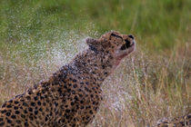 Cheetah after heavy rain, Masai Mara, Kenya by Maggy Meyer