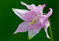 Pink Columbine by Keld Bach