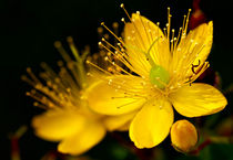 Yellow Hypericum by Keld Bach