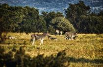 Zebras by JACINTO TEE