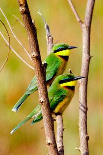 Cinnamon-chested Bee-eater von Pravine Chester