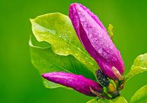 Purple Magnolia by Keld Bach