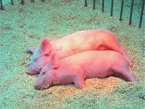 Schwein11be