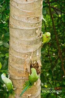 Parrots, Sri Lanka by reorom