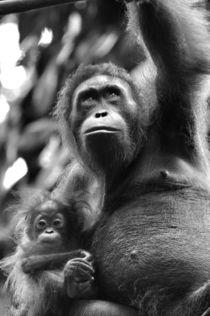 orangutan von emanuele molinari
