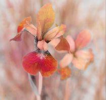 Orange Iris von Christine Fitzgerald