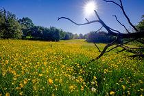 Buttercup Field by Keld Bach