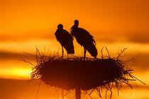 White Stork von bia-birdimagency