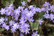 Hepatica by Patrick Steinberger