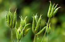 Columbine Seed Pods by Keld Bach