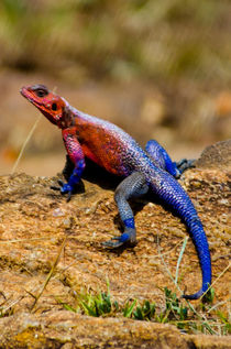 Colorful Lizard von Pravine Chester