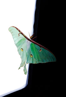 Luna Moth by Ken Howard