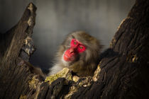 Monkey in Red ... it's just you and me by Carinne Gamas