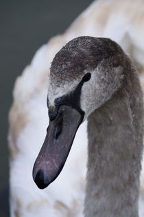 Young swan by fotograf